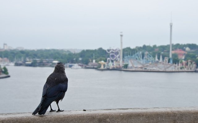 Crow eyeing the funfair in the distance