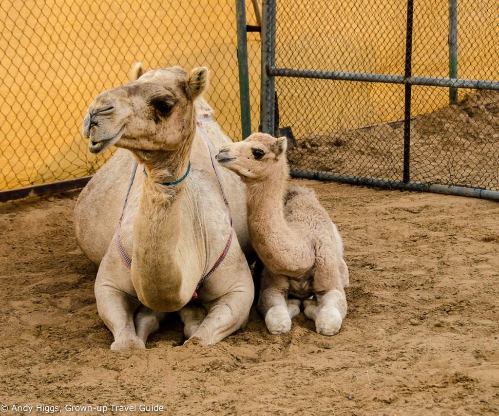 Desert safari camels