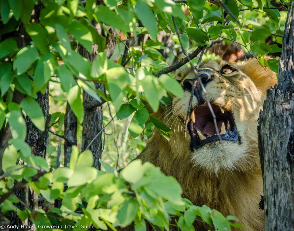 Lion irritated by branch 2