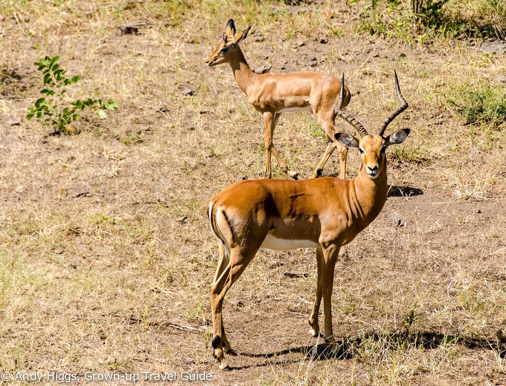 Impala near Vic Falls