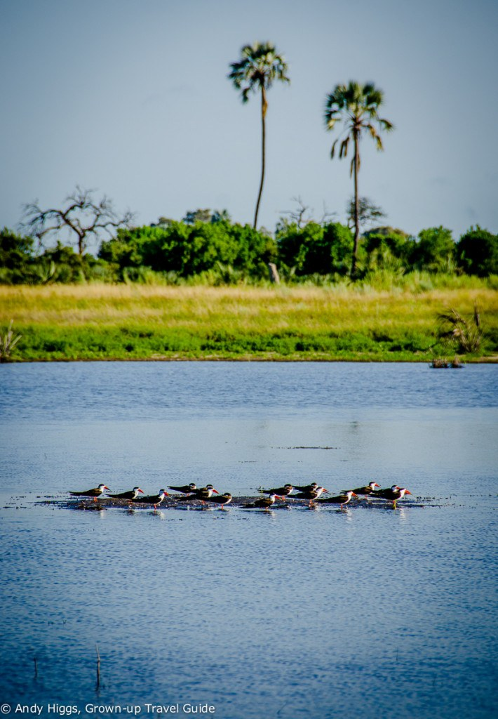 African skimmers on water