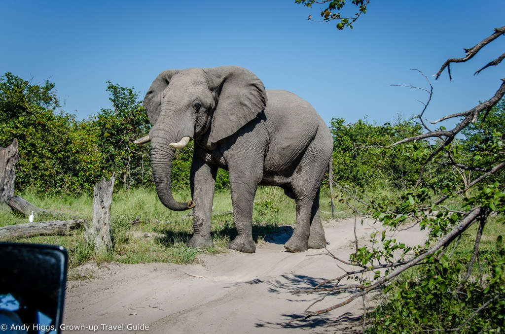 Elephant in road on way to Maun