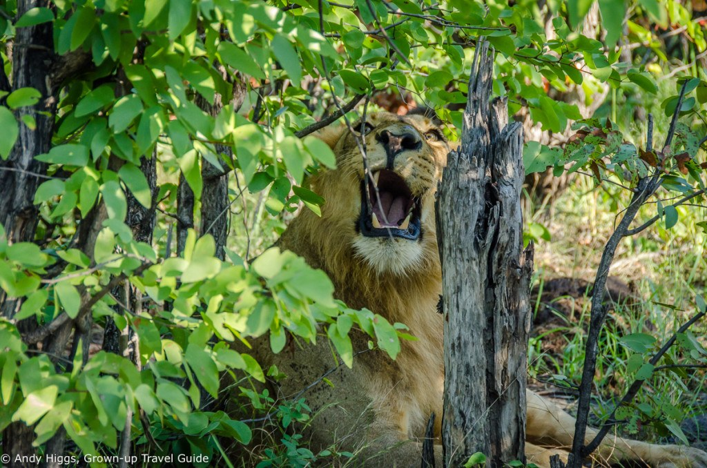 Lion irritated by branch