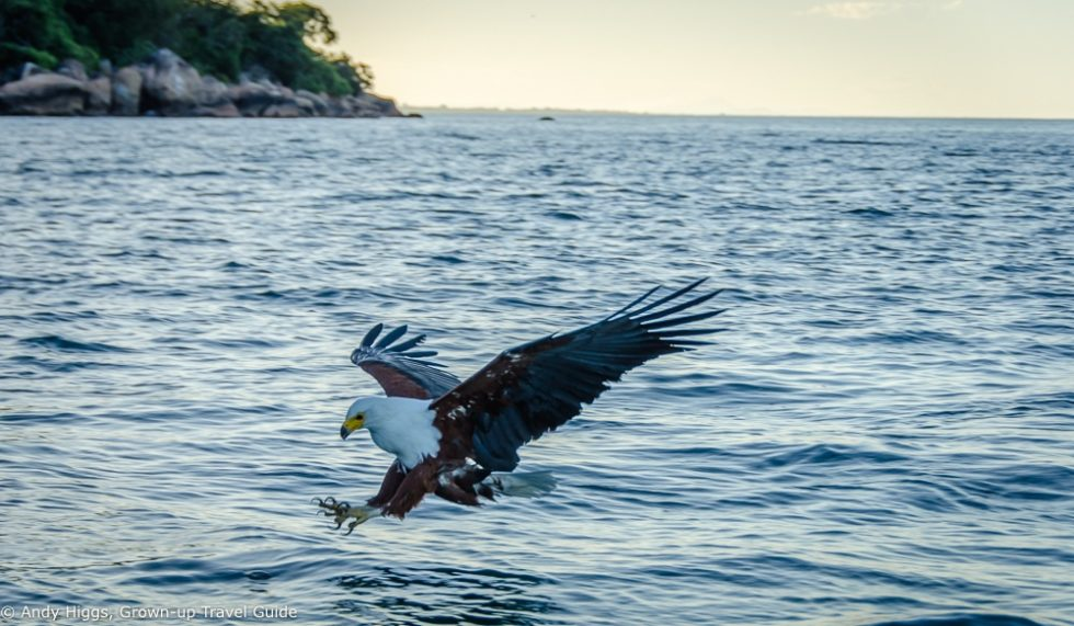 Fish Eagle attacks