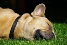 french-bulldog-4291119_1280